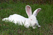 White Belgian Rabbit on the grass