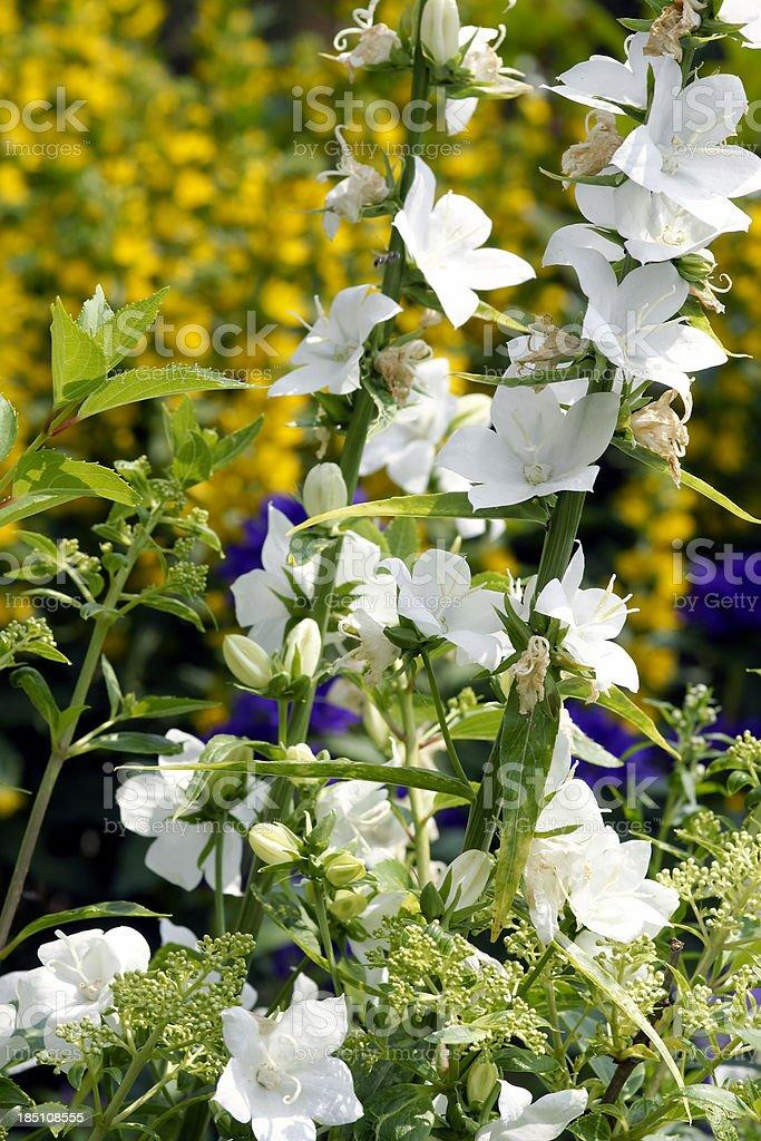 White bellflowers stock photo