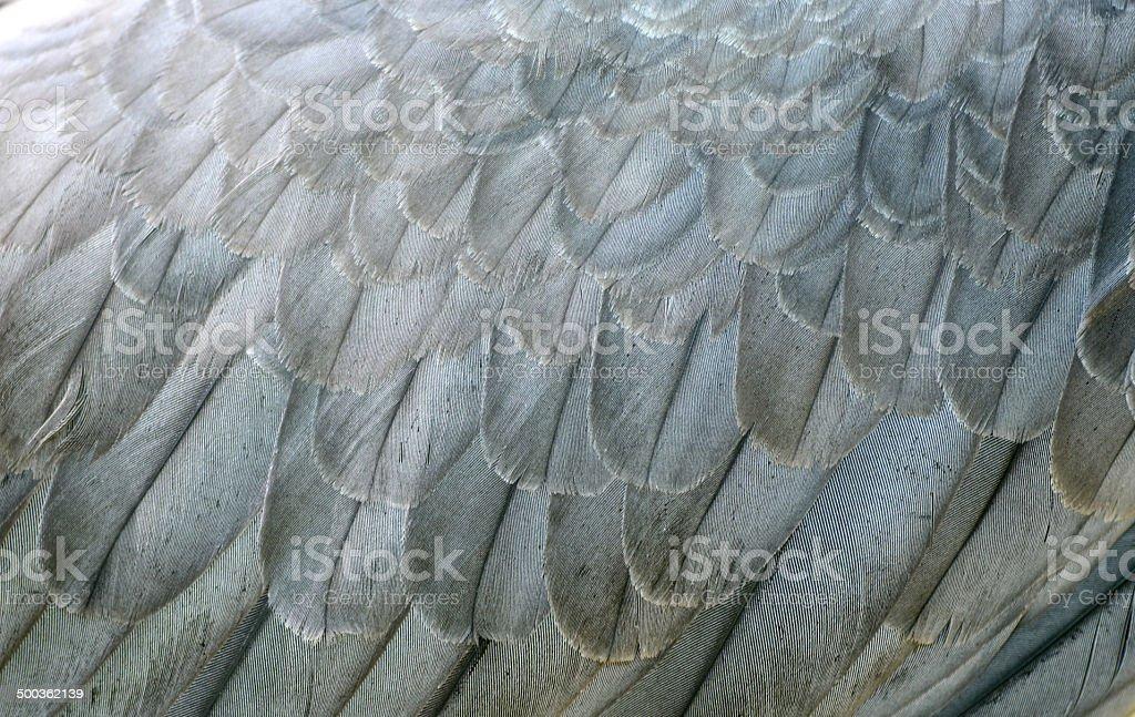 white bellie sea eagle feather stock photo