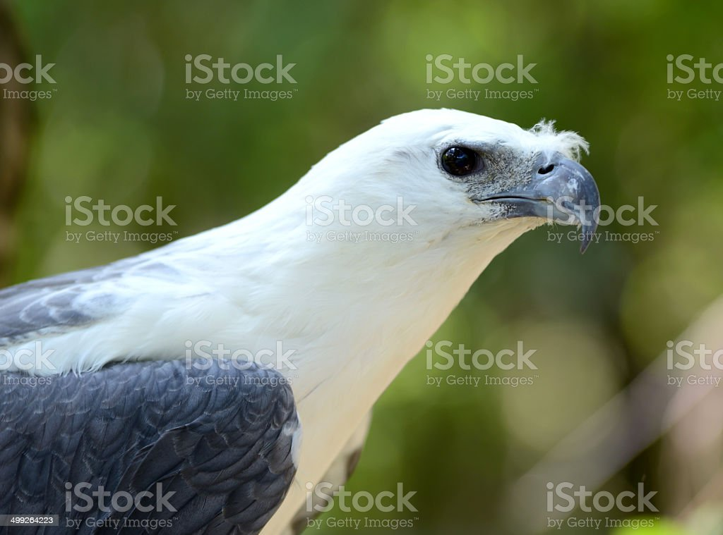 white bellie sea eagle stock photo