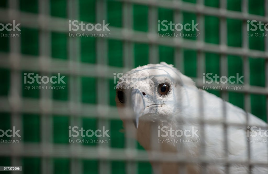 white bellied sea eagle in cage stock photo