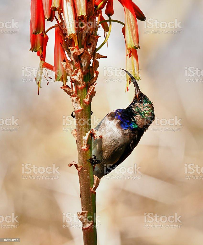 Biały Bellied Sunbird zbiór zdjęć royalty-free