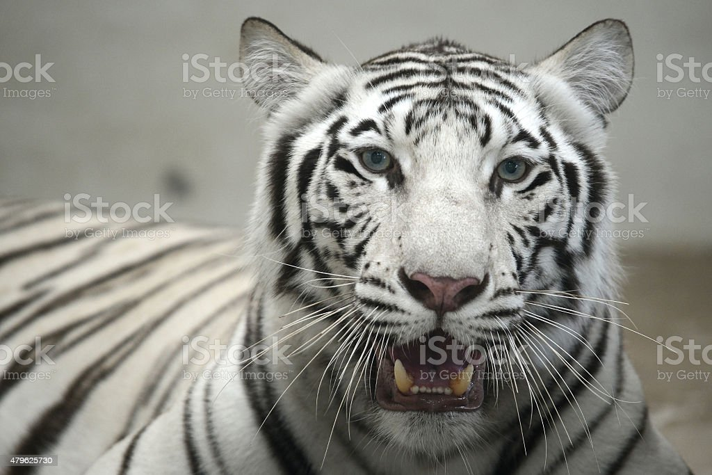 White Bengal Tiger head looking direct to camera stock photo