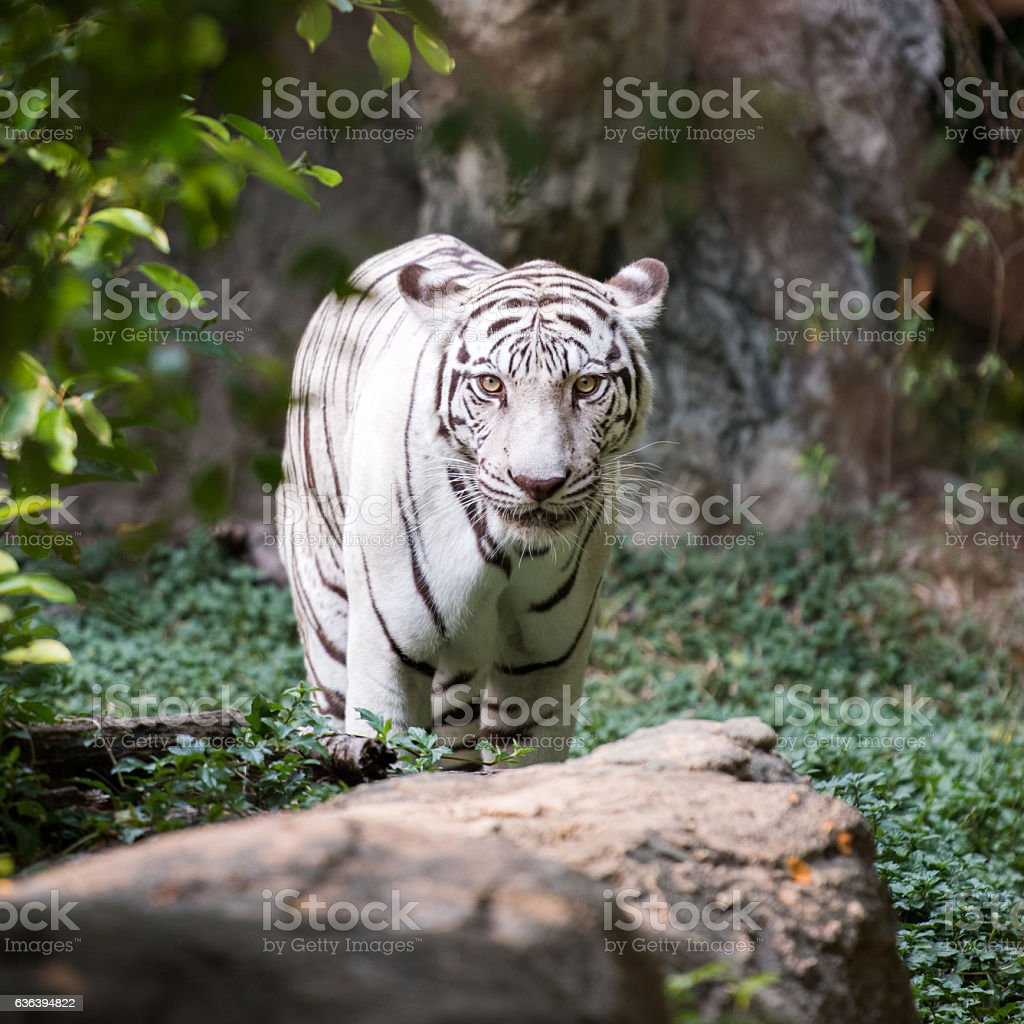 White Bengal Tiger in Wildlife stock photo