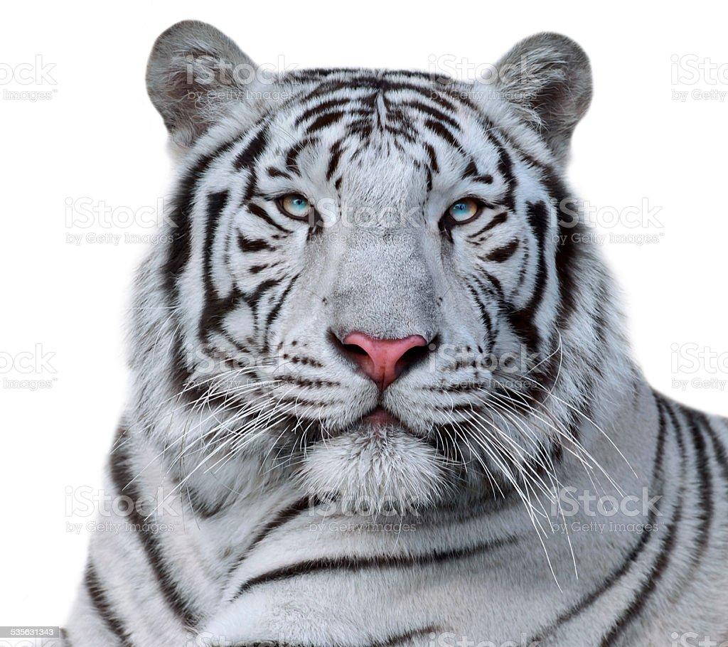 White bengal tiger, isolated on white background. stock photo
