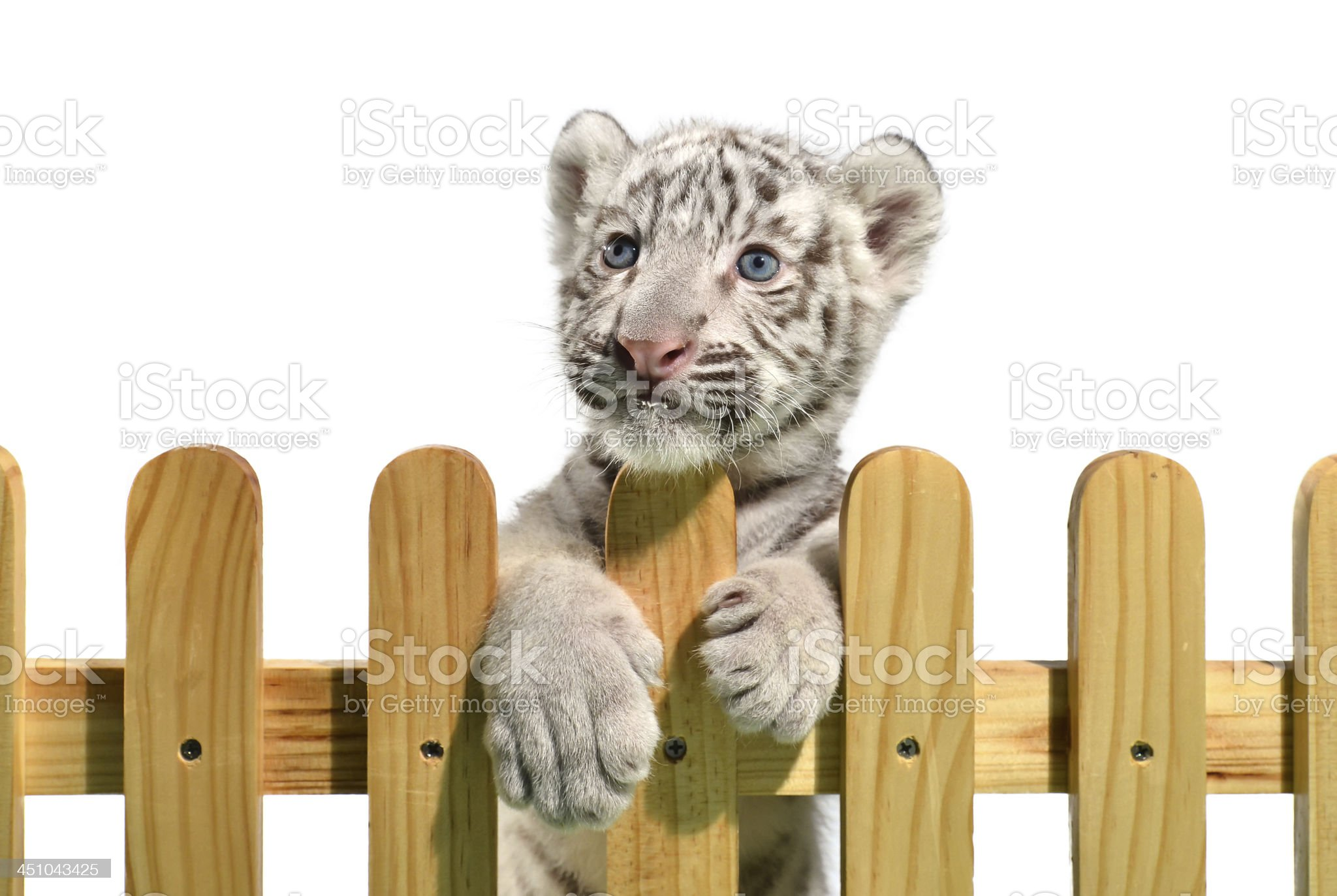 white bengal tiger royalty-free stock photo