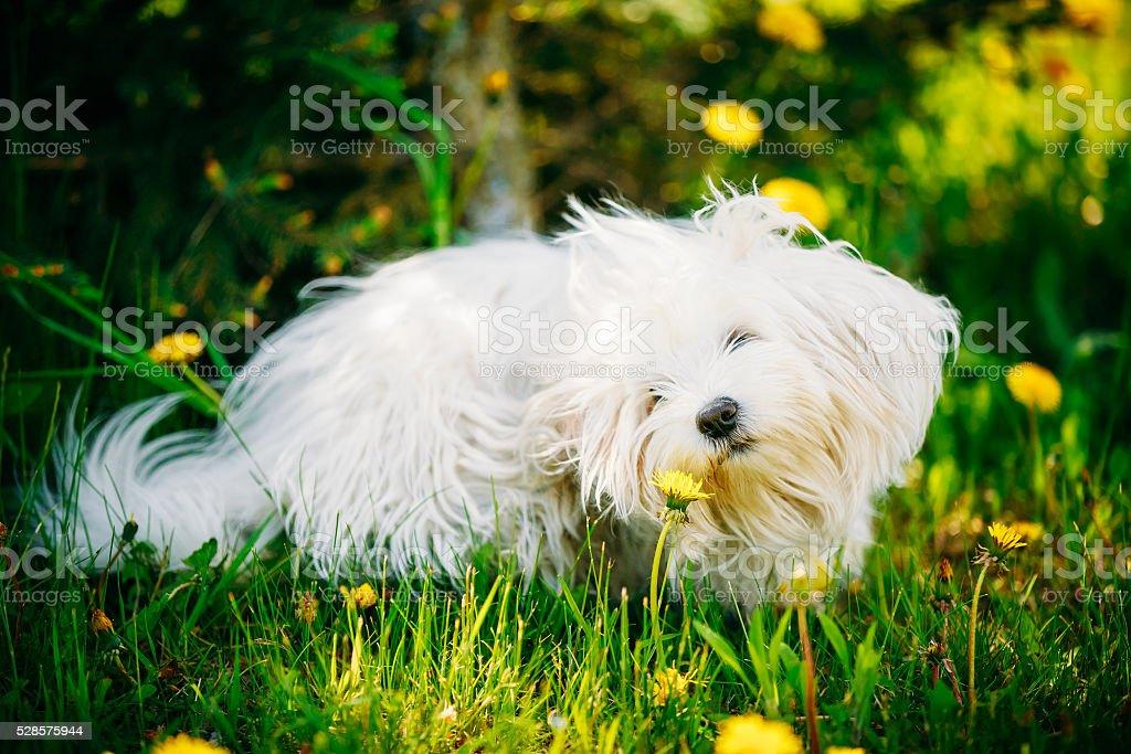 White Bichon Bolognese Dog Sitting In Green Grass stock photo