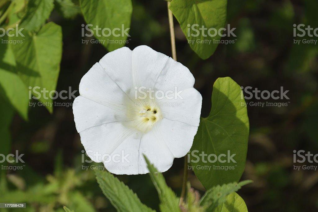 White Bindweed flower stock photo