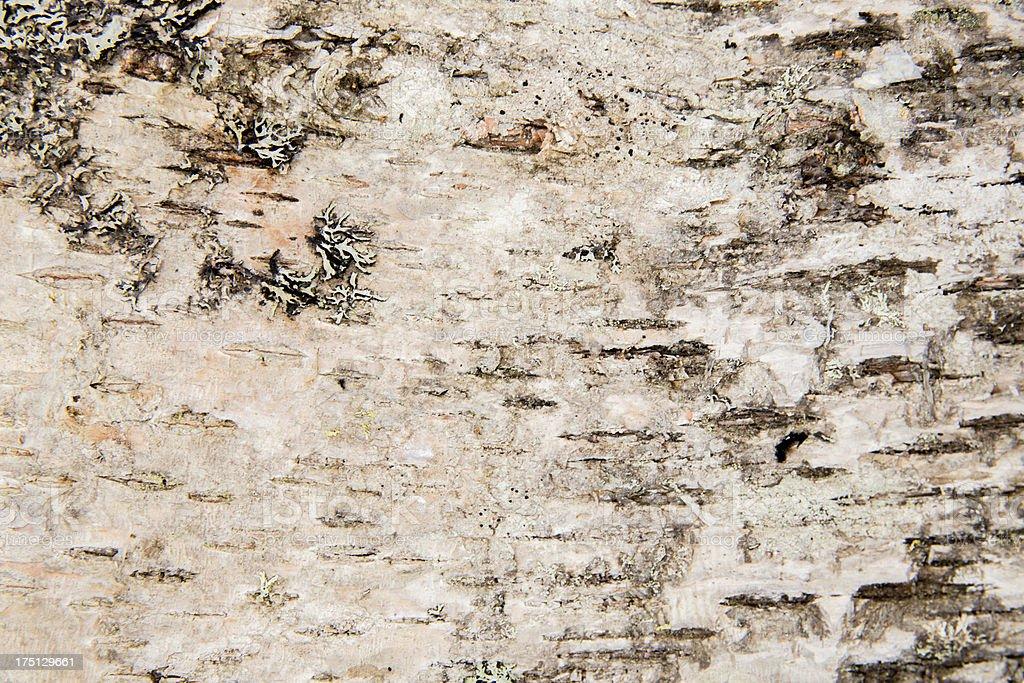 White birch bark royalty-free stock photo