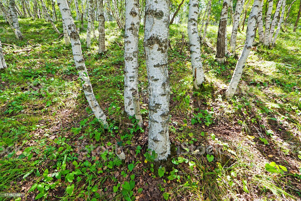 white birch forest landscape royalty-free stock photo