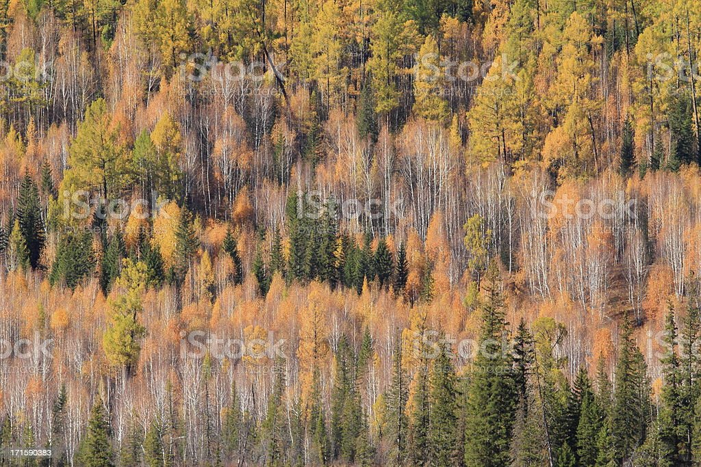 White birch forest royalty-free stock photo