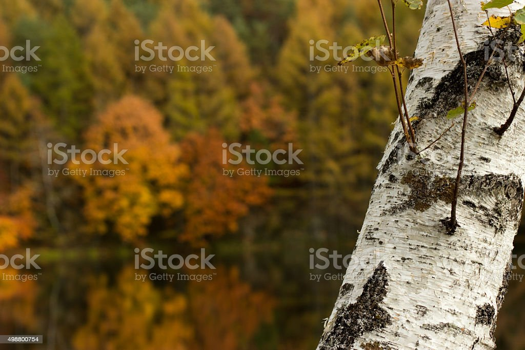 White birch stock photo