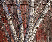 White Birch Tree and Old Red Barn Wall