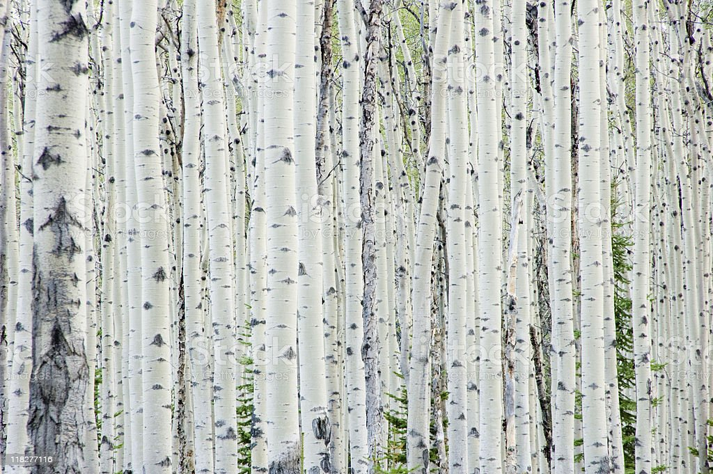 White birch tree forest stock photo