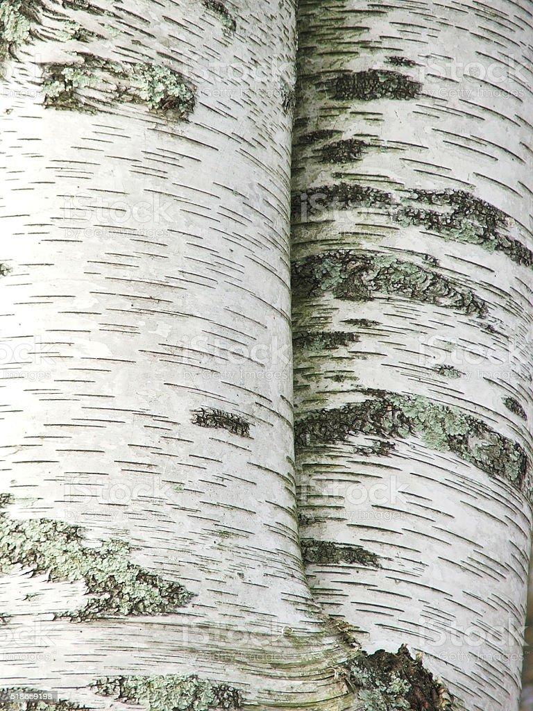 White Birch Trees stock photo