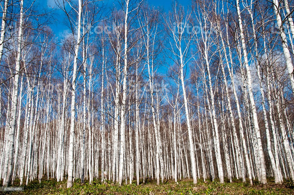 White birch woods and the blue sky stock photo