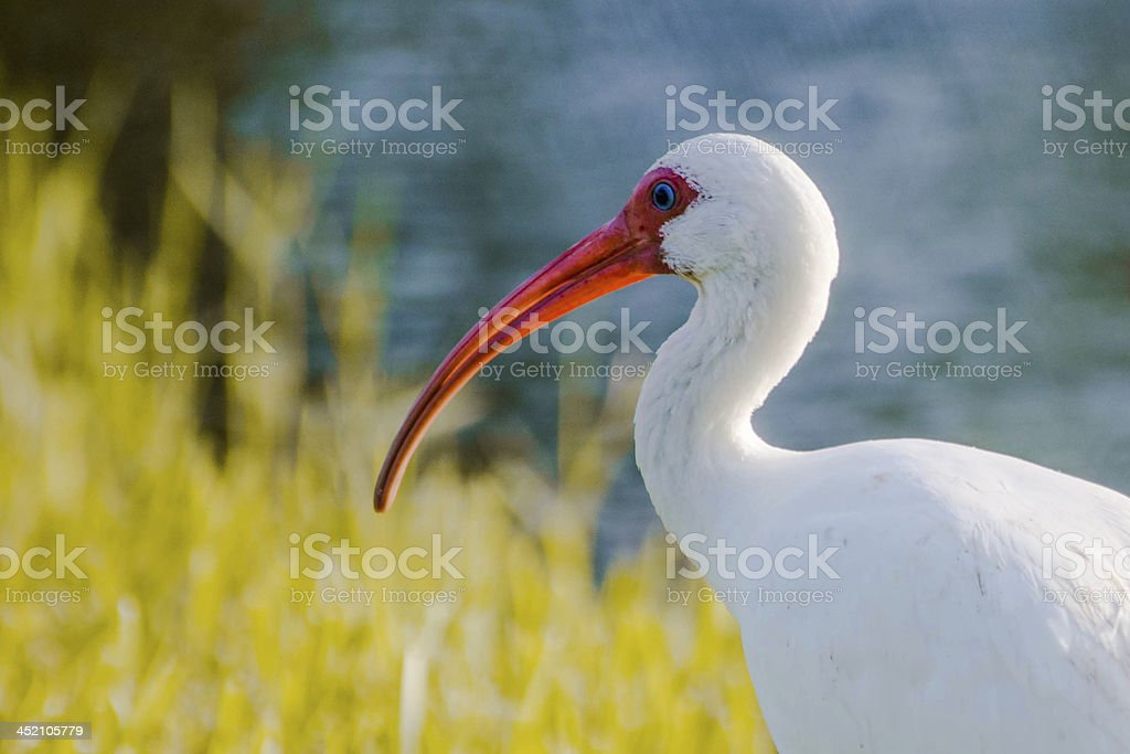 White bird with Red Beak by the Lake stock photo