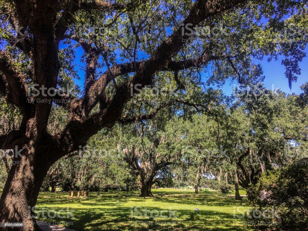 white birds and oak trees stock photo