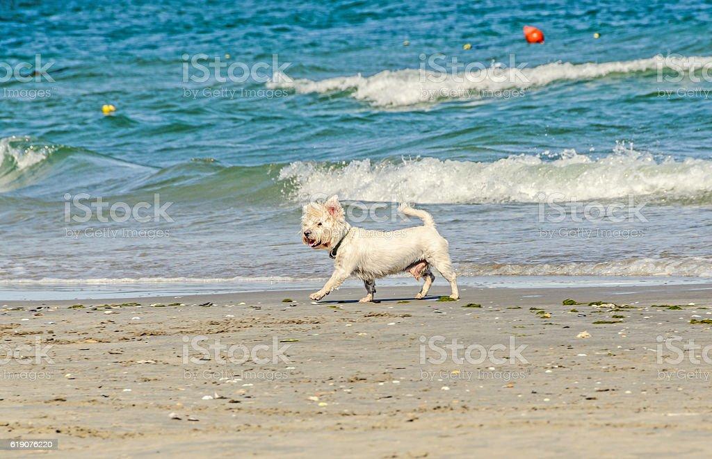 White bishon dog walking on the beach near blue water stock photo