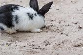White Black rabbit