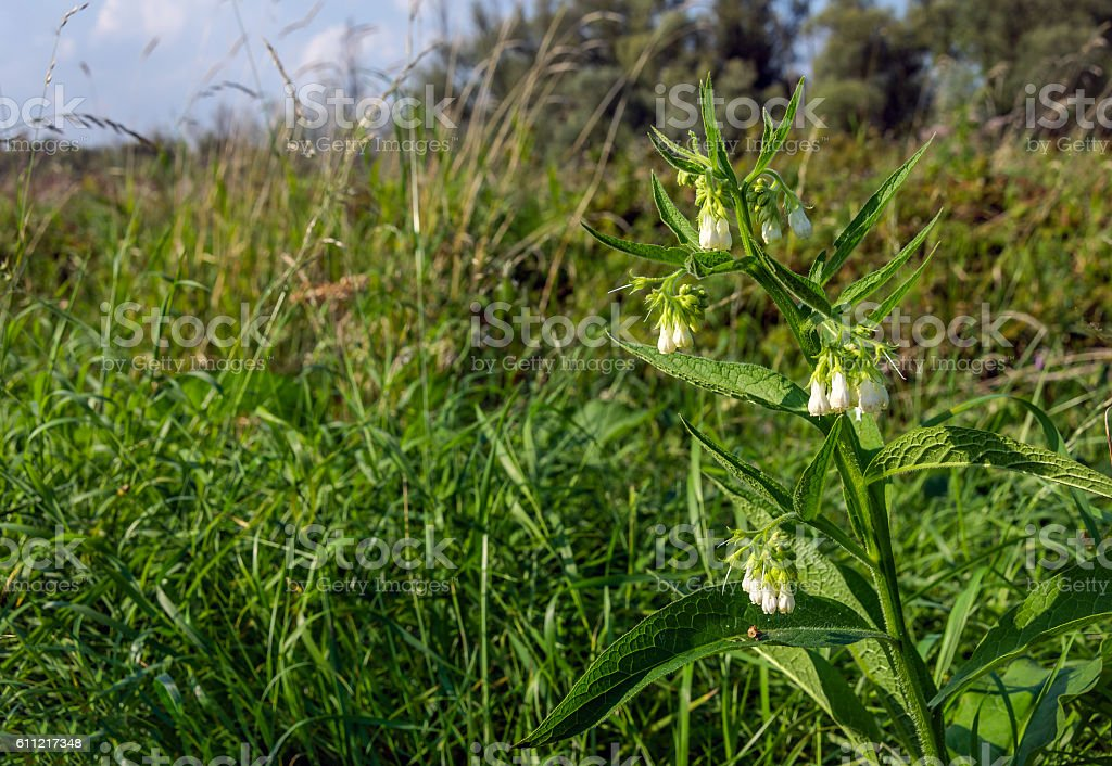White blooming common comfrey at the slope of an embankment stock photo