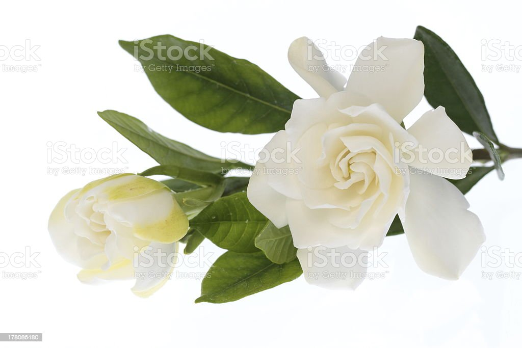 White blooming in double gardenia stock photo
