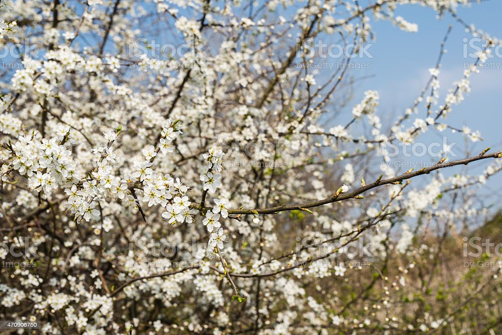 White blooming sarvis from close stock photo