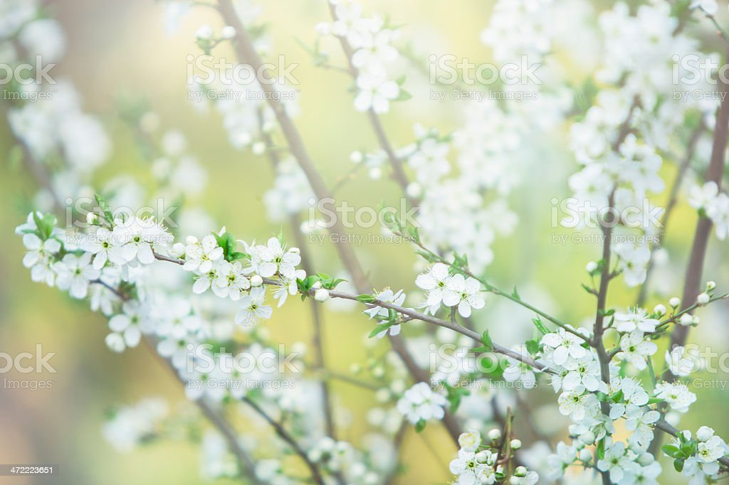 White blooming tree stock photo