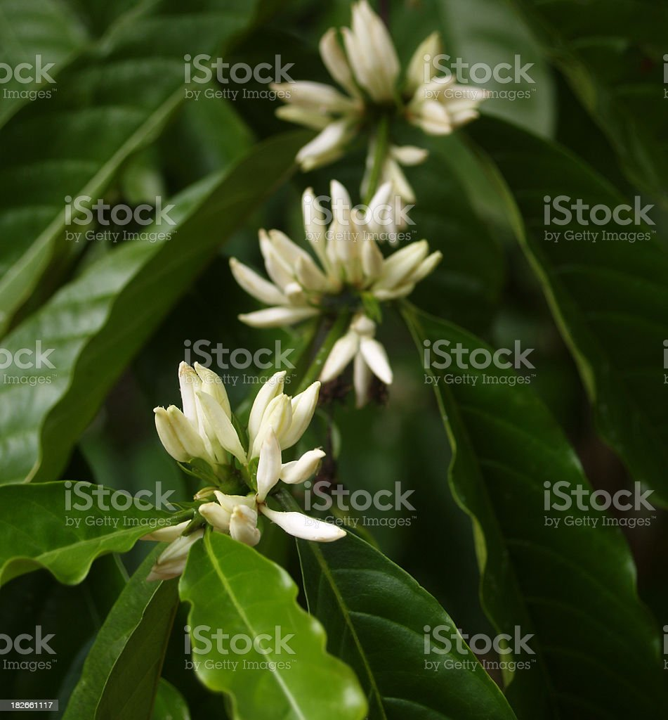 White blooms of arabica coffee tree stock photo