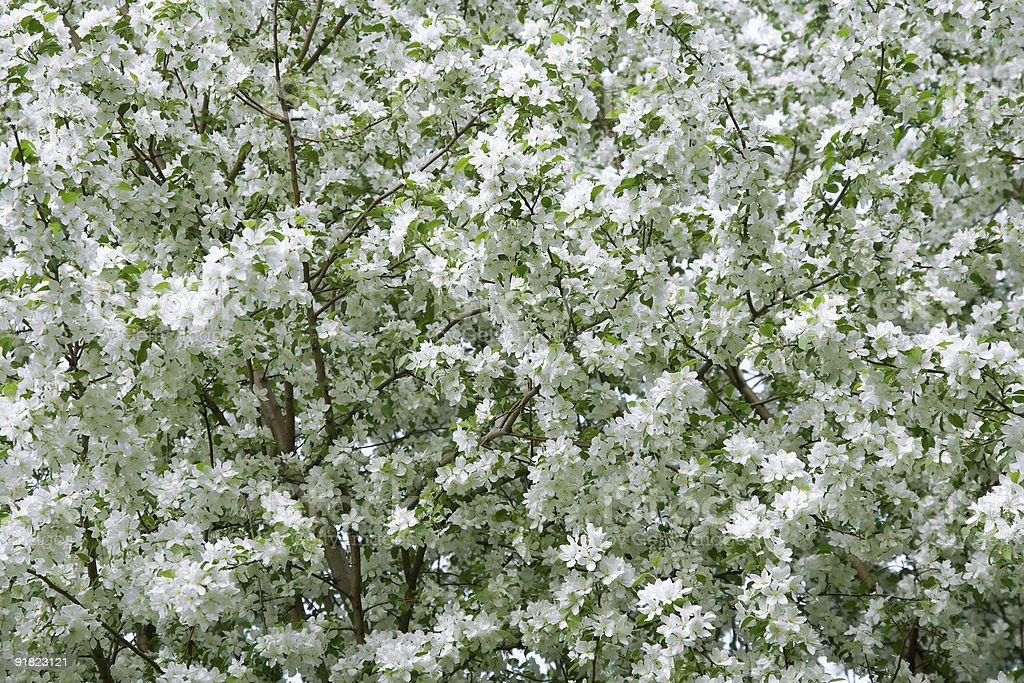 White blossom background royalty-free stock photo