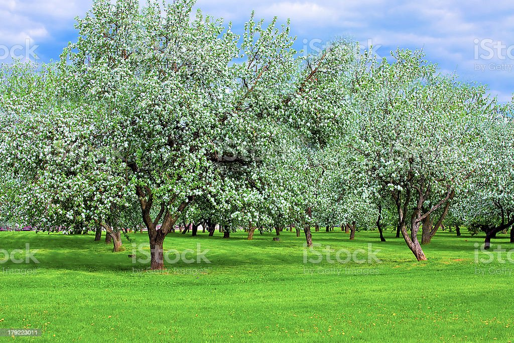 white blossom of apple trees in springtime royalty-free stock photo
