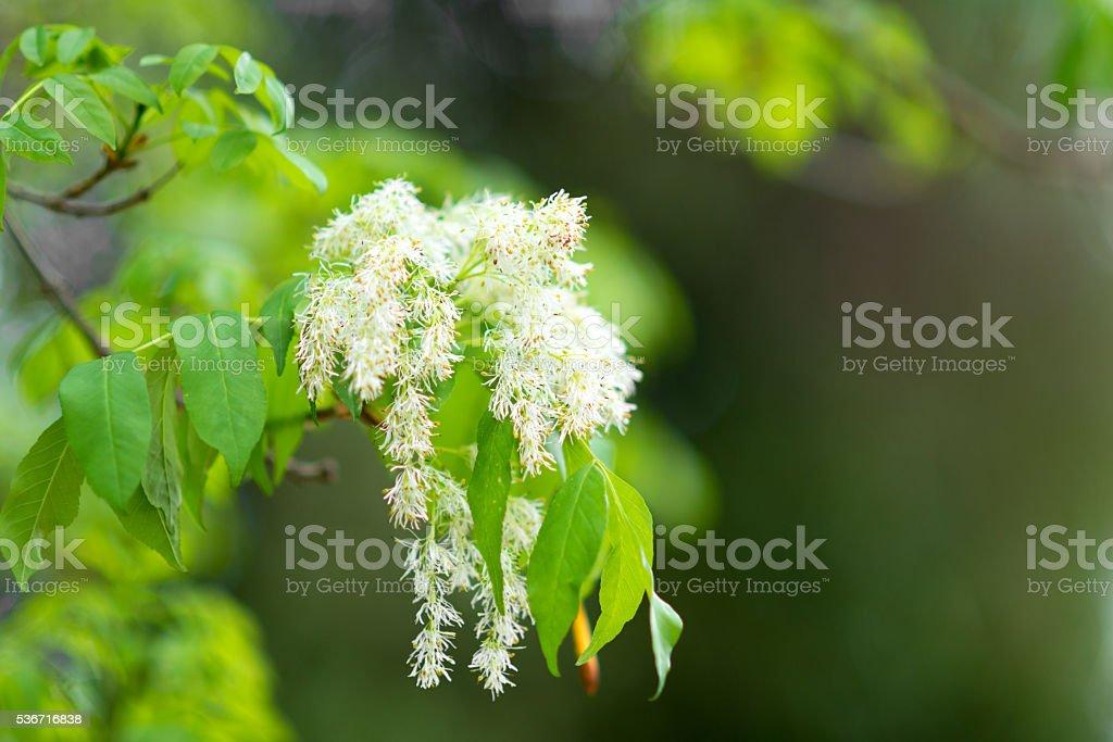 white blossom of Syringa reticulata - jap Baumflieder (german) stock photo