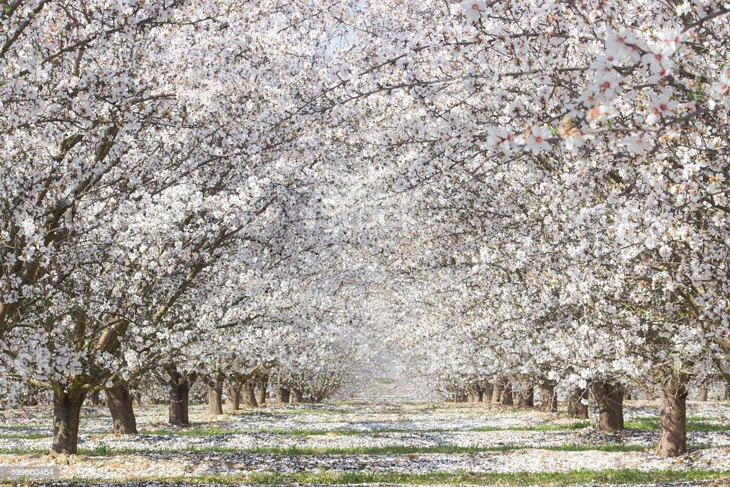 White Blossom Trees stock photo