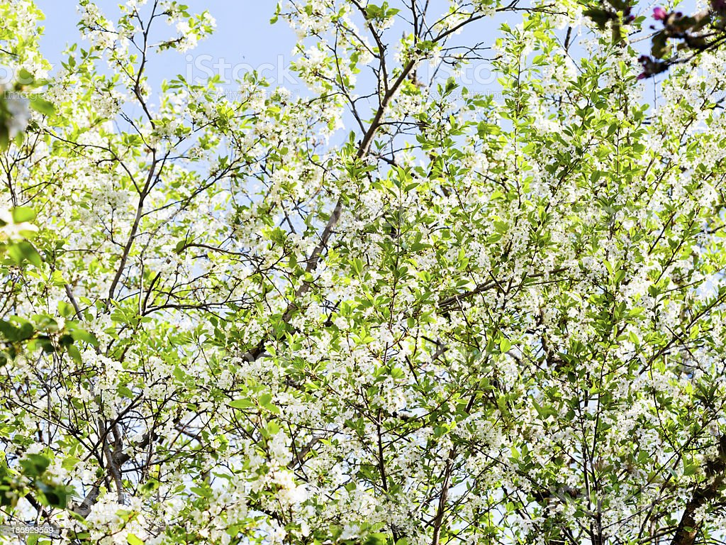 white blossoming tree royalty-free stock photo