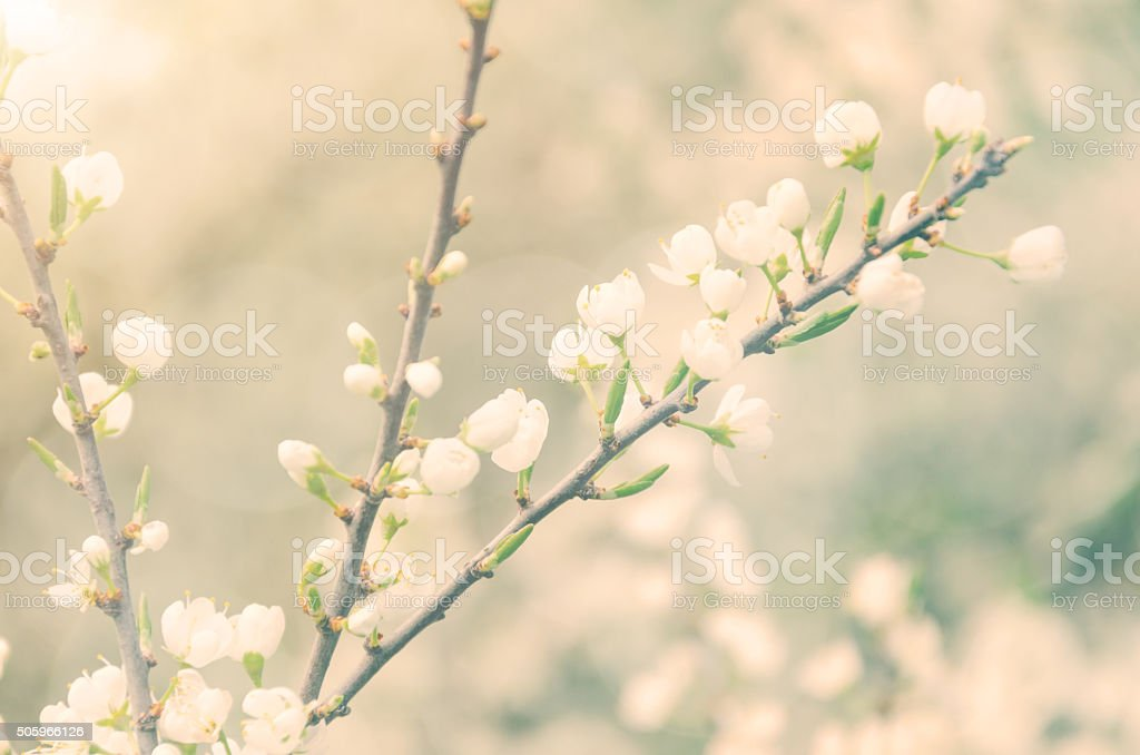 white blossoms in spring light - blackthorn stock photo