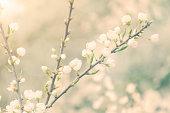 white blossoms in spring light - blackthorn