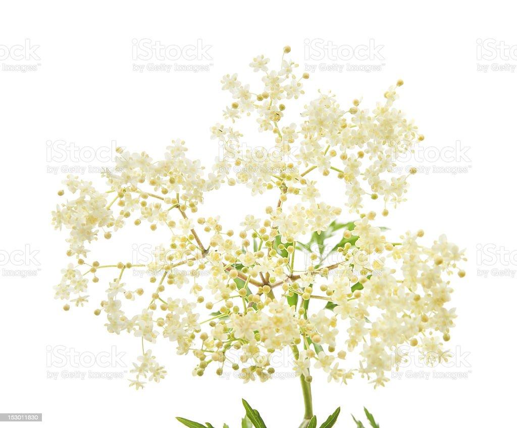 sureau noir fleurs stock photo libre de droits 153011830   istock