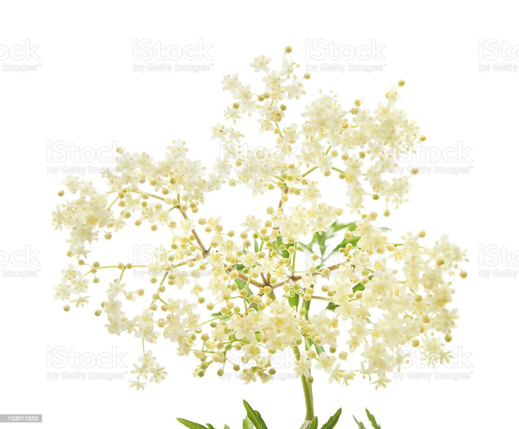 White blossoms of black elder flowers on a branch stock photo