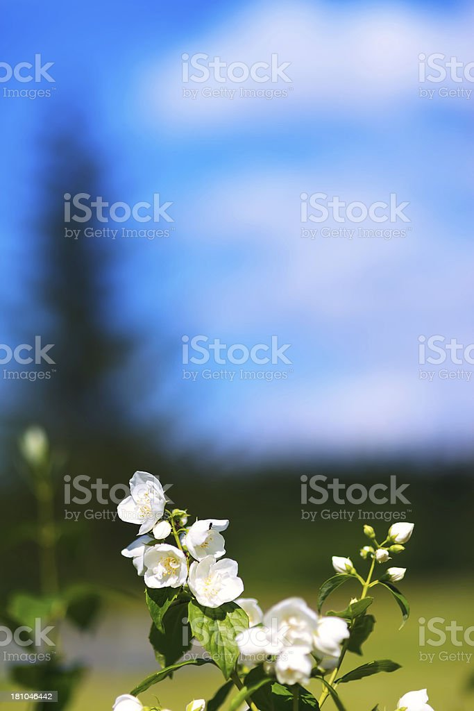 White blossoms on blue sky royalty-free stock photo