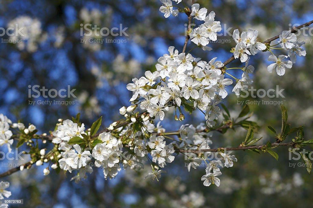 White blossoms stock photo