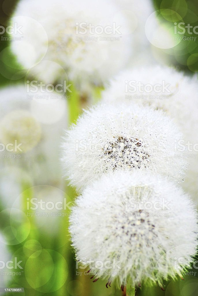 white blowball background royalty-free stock photo