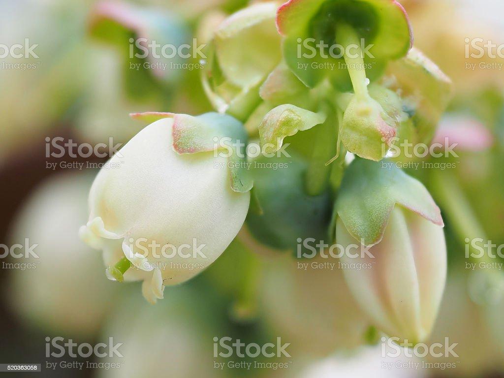 White blueberry buds on a bush. stock photo