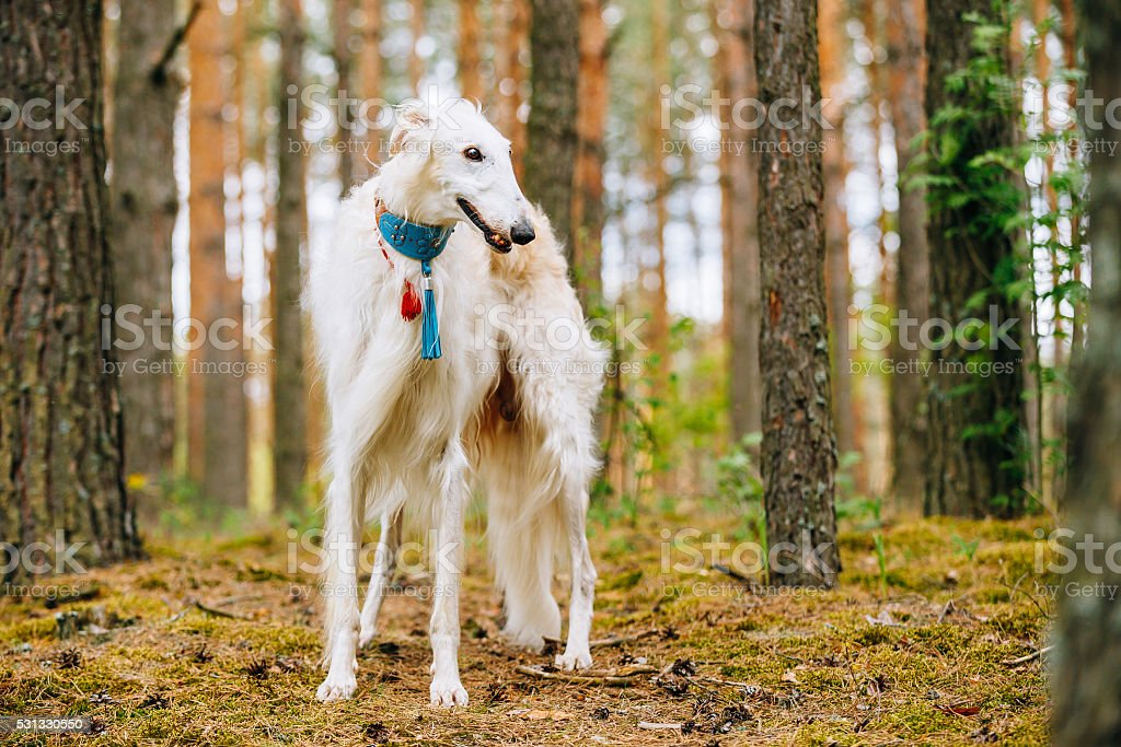 White Borzoi, Hunting dog in Spring Summer Forest. stock photo