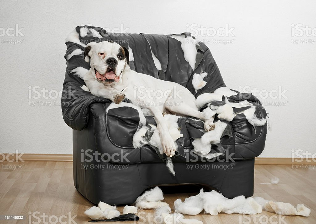 White Boxer dog is on a ruined leather chair. stock photo