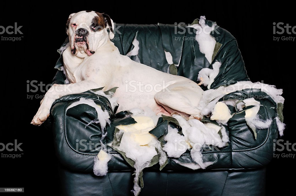 White Boxer is on a leather chair stock photo