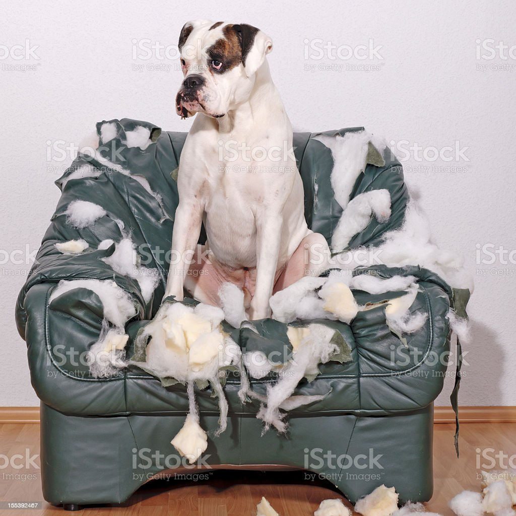 White Boxer sitting on a leather chair stock photo