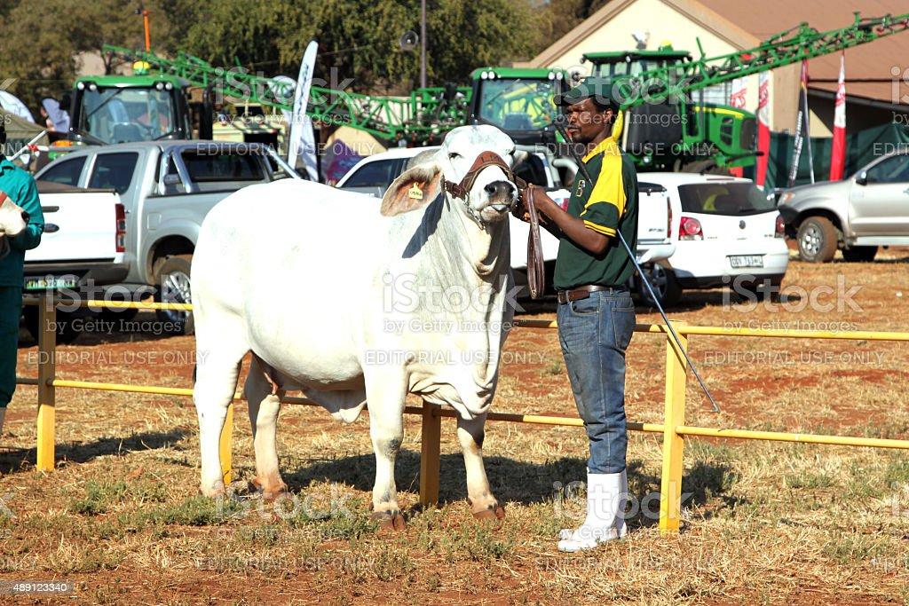 White Brahman bull lead by handler photo stock photo