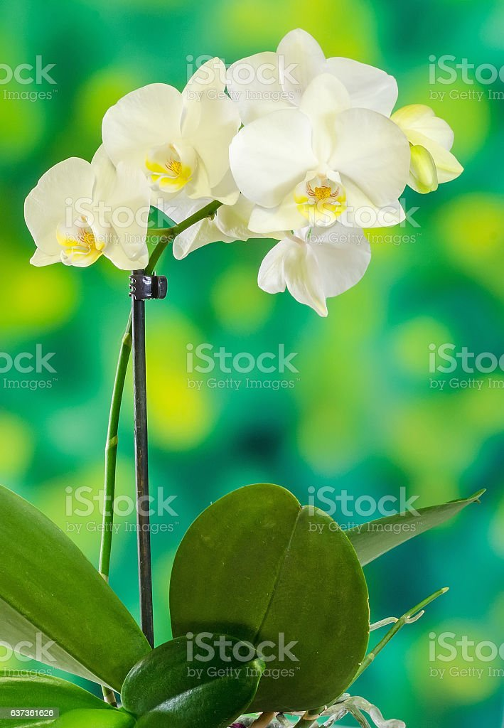 White branch orchid  flowers with green leaves, Orchidaceae stock photo