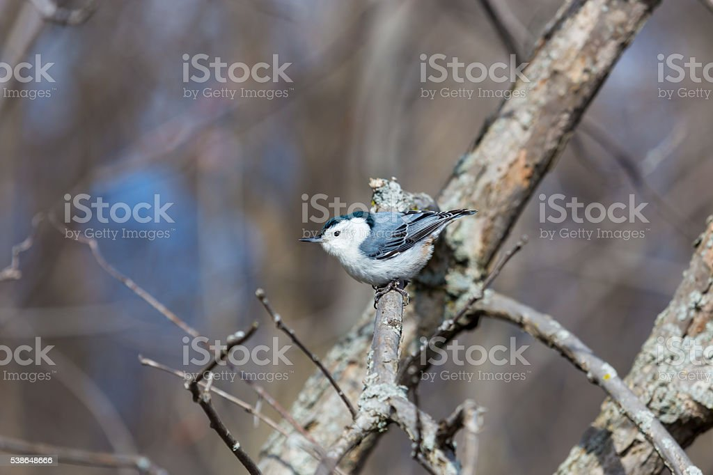 White Breasted Nuthatch. stock photo