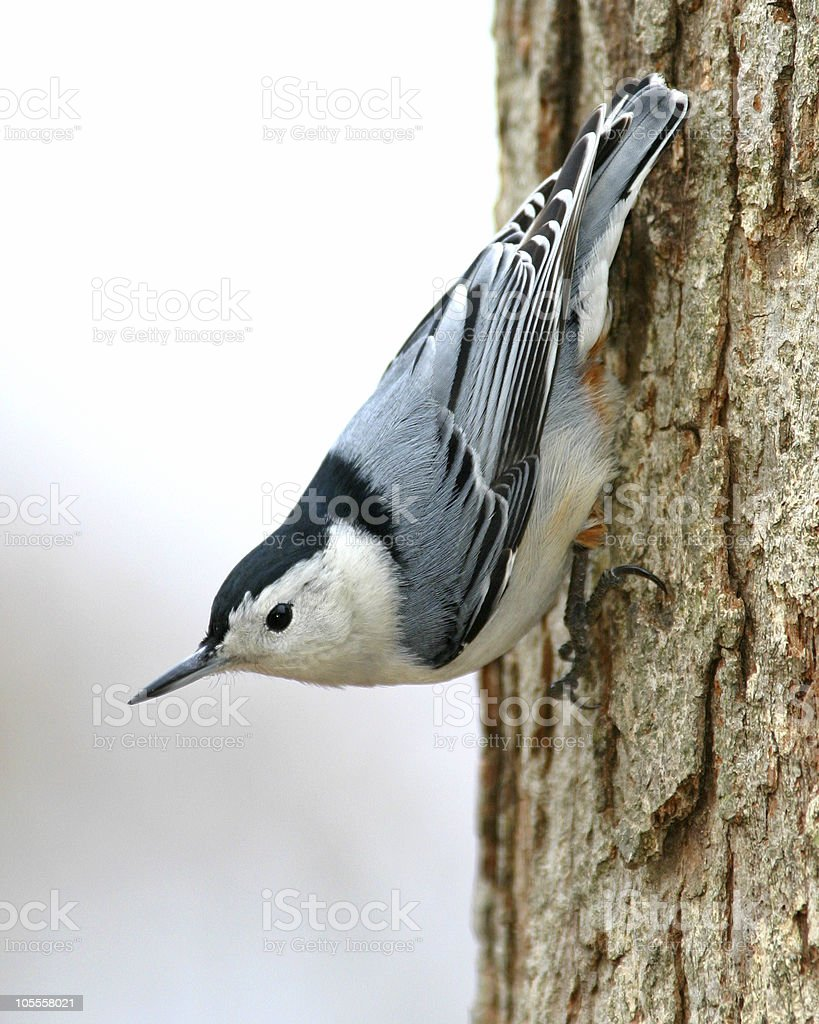White Breasted Nuthatch - Sitta Canadensis stock photo